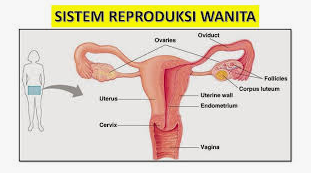 Struktur Organ Reproduksi Wanita